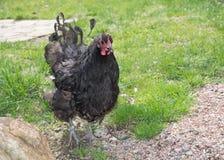 Schwarze Henne Stockbilder