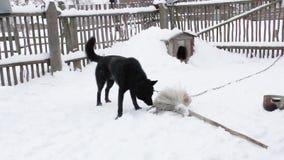 Schwarze Hofhundspiele mit dem Knochen stock video