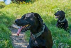 Schwarze Hunde Labrador retrievers legen auf Gras in den Bergen Lizenzfreies Stockfoto