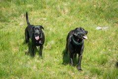 Schwarze Hunde Labrador retrievers legen auf Gras in den Bergen Lizenzfreie Stockfotografie