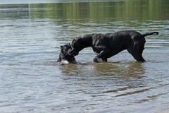 Schwarze Hunde spielen im Wasser Stockbilder