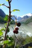 Schwarze Johannisbeere in Altai-Bergen, unscharfer Hintergrund lizenzfreie stockfotografie