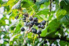 Schwarze Johannisbeere auf Niederlassung mit unscharfem Hintergrund lizenzfreie stockfotografie