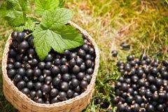 Schwarze Johannisbeere der Beeren im Korb Stockfoto