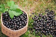 Schwarze Johannisbeere der Beeren im Korb Stockbilder