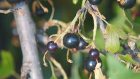 Schwarze Johannisbeere im Garten auf einer Niederlassung von Bush-Nahaufnahme stock video
