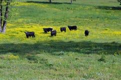 Schwarze Kühe Lizenzfreie Stockfotos