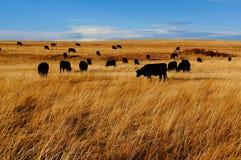 Schwarze Kühe Stockfoto