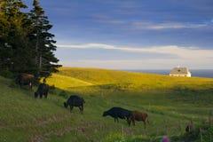 Schwarze Kühe Stockfotos