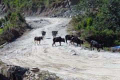 Schwarze Kühe, die einen sandigen Schotterweg, numerisch, Nepal kreuzen lizenzfreie stockfotos
