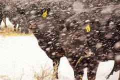 Schwarze Kühe in einem Schneesturm Stockfotos