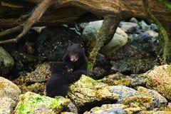 Schwarze Küstenbären Stockfoto