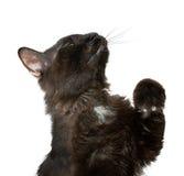 Schwarze Katze Stockfoto