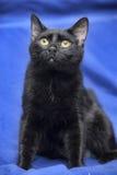 Schwarze Katze auf einem Blau Stockfotografie