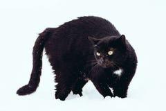 Schwarze Katze auf weißem Hintergrund lizenzfreies stockfoto