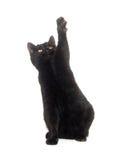 Schwarze Katze auf weißem Hintergrund Stockfotografie