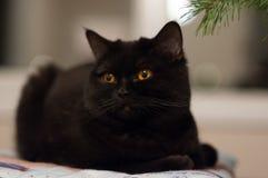Schwarze Katze, die auf dem Kissen liegt stockfoto
