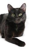 Schwarze Katze, die auf einem weißen Hintergrund, Kamera betrachtend liegt Stockbild