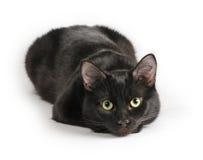 Schwarze Katze, die auf einem weißen Hintergrund, Kamera betrachtend liegt Lizenzfreie Stockfotografie