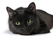 Schwarze Katze, die auf einem weißen Hintergrund, Kamera betrachtend liegt Stockfotografie