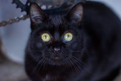 Schwarze Katze, die Kamera betrachtet Stockfotos