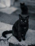 Schwarze Katze, die in Schwarzem u. in weißem anstarrt Lizenzfreies Stockfoto