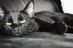 Schwarze Katze - Lamar Stockbild