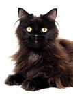 Schwarze Katze lokalisiert auf einem weißen Hintergrund Lizenzfreie Stockbilder