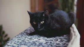 Schwarze Katze mit dem Lügen auf Bett Schließen Sie herauf die Ansicht des netten Kätzchens Zeit genießend stock footage