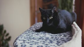 Schwarze Katze mit dem Lügen auf Bett Schließen Sie herauf die Ansicht des netten Kätzchens Zeit genießend stock video footage