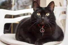 Schwarze Katze mit dem roten Kragen, der auf einem weißen Stuhl sitzt Stockfoto