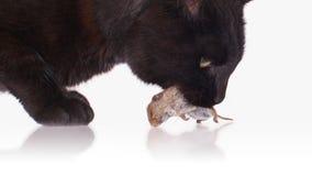 Schwarze Katze mit seinem Opfer, eine tote Maus Stockfotografie