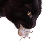 Schwarze Katze mit seinem Opfer, eine tote Maus Lizenzfreie Stockbilder