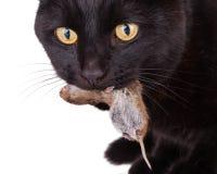 Schwarze Katze mit seinem Opfer, eine tote Maus Stockfoto