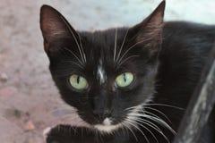 Schwarze Katze mit Türkisaugen Stockfotos