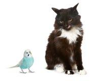 Schwarze Katze und blauer Papagei Lizenzfreies Stockfoto