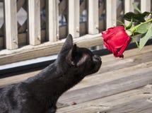 Schwarze Katze und eine Rose Stockfotografie