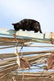 Schwarze Katze versucht, trocknende Fische, Spanien zu stehlen Lizenzfreie Stockbilder