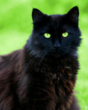 Schwarze KatzeStare Stockbilder