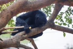 Schwarze Klammeraffe in einem Baum Stockbild