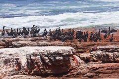 Schwarze Kormorane an der roten felsigen Küstenlinie Lizenzfreie Stockbilder