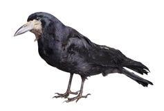 Schwarze Krähe Stockfotografie