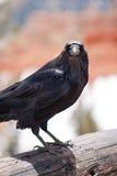 Schwarze Krähe stockfotos