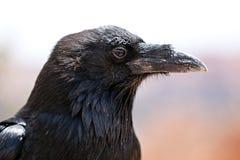 Schwarze Krähe lizenzfreies stockbild