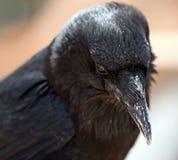 Schwarze Krähe lizenzfreie stockfotografie