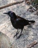 Schwarze Krähe auf Betonmauer Lizenzfreies Stockfoto