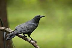 Schwarze Krähe auf bloßem Glied Lizenzfreie Stockfotografie
