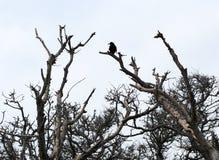 Schwarze Krähe auf die Oberseite eines Baums lizenzfreie stockfotos