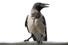 Schwarze Krähe auf einem weißen Hintergrund Stockfotografie