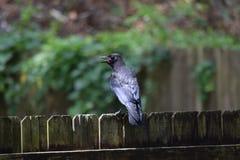 Schwarze Krähe auf Zaun Lizenzfreies Stockfoto